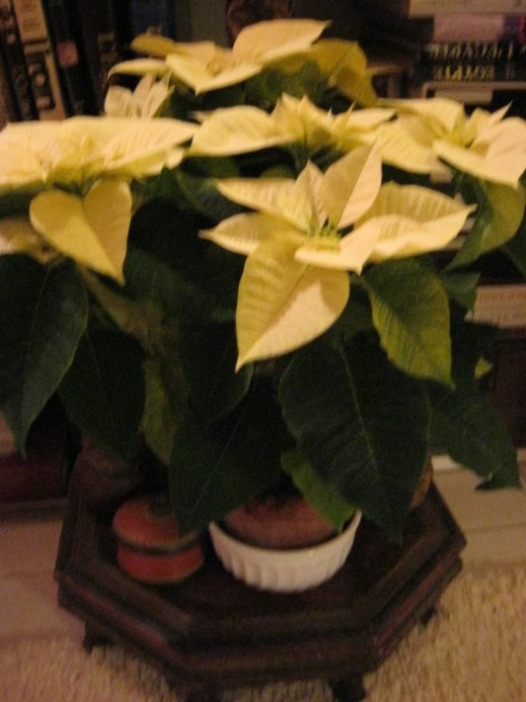 Pontsettia blanche